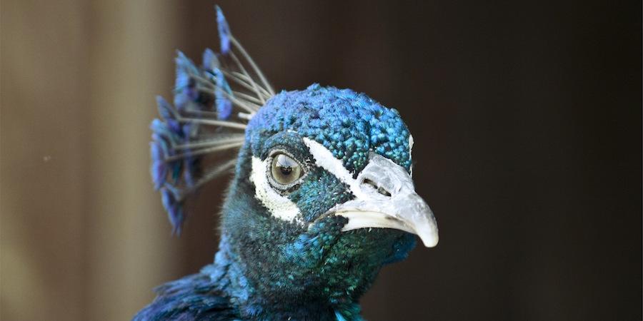intense-peacock