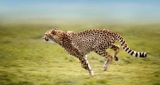 running_cheetah